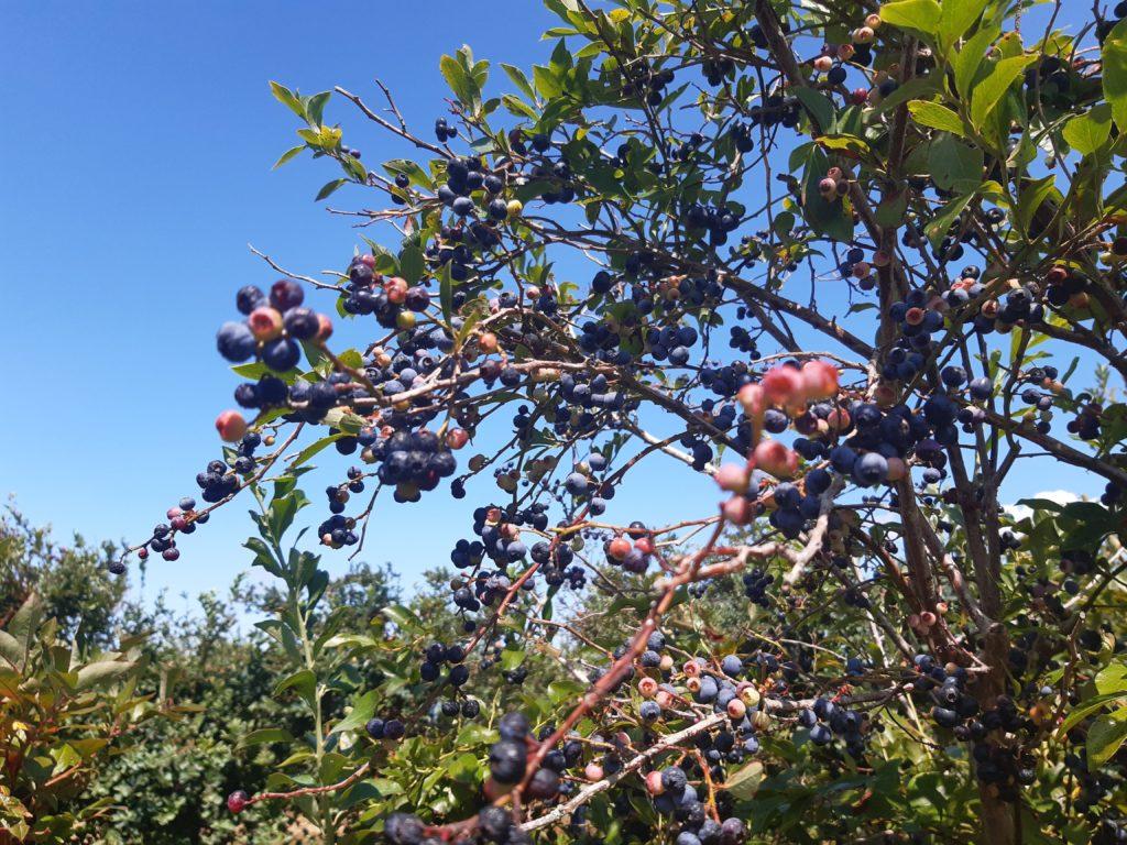 ブルーべリーの樹